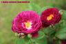 V badenskom kráľovstve ruží